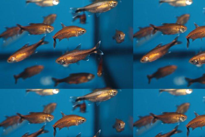 Tapeta Pixerstick Silvertip tetra (nana Hasemania) akvarijní ryby - Vodní a mořský život