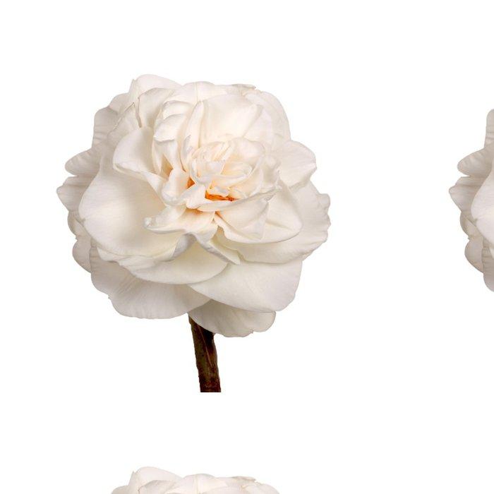 Tapeta Pixerstick Single white double Narcis izolovaných na bílém - Květiny