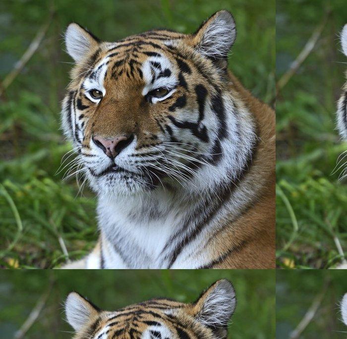 Tapeta Pixerstick Skin Amur Tiger - Savci