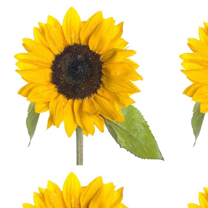 Tapeta Pixerstick Slunečnice na bílém pozadí - Květiny