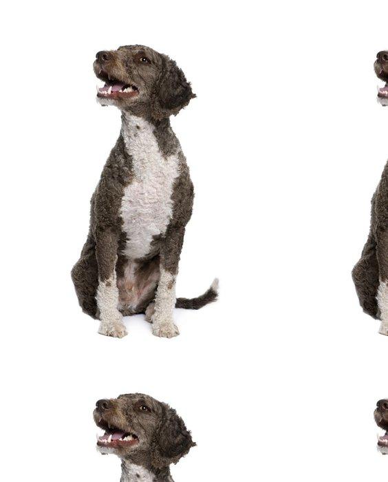 Tapeta Pixerstick Španělský vodní španěl pes sedí před bílým pozadím - Savci