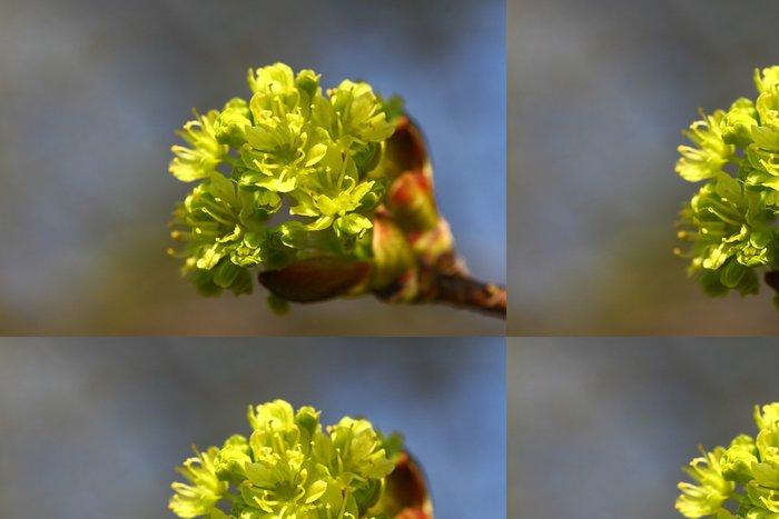Vinylová Tapeta Spitzahorn - Acer platanoides - Rostliny
