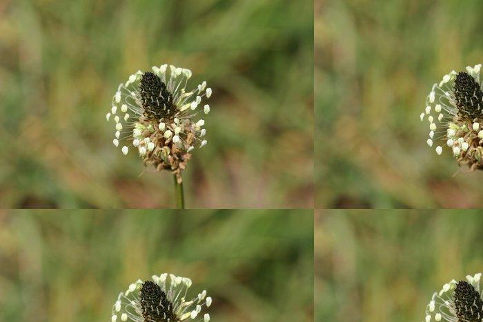 Tapeta Pixerstick Spitzwegerich (jitrocel kopinatý) - Rostliny