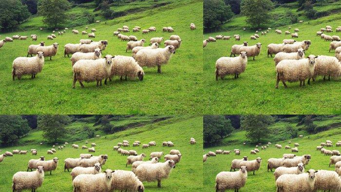 Tapeta Pixerstick Stádo ovcí - Témata