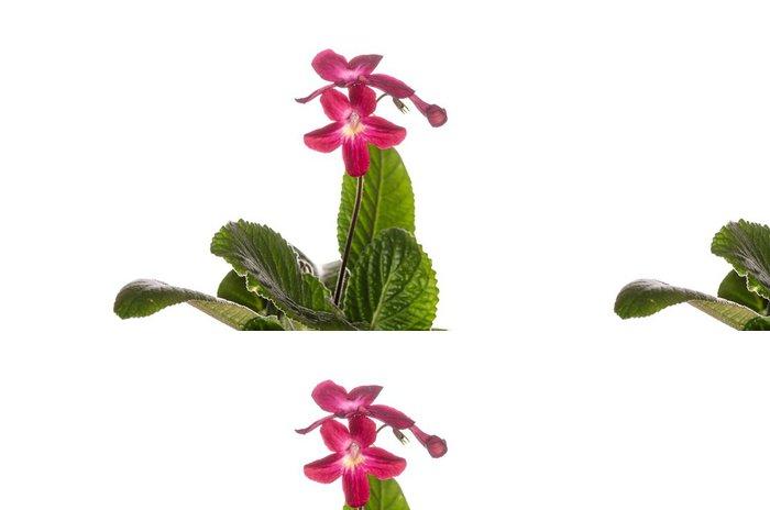 Vinylová Tapeta Streptocarpus Cape Primrose Hybrid - Domov a zahrada