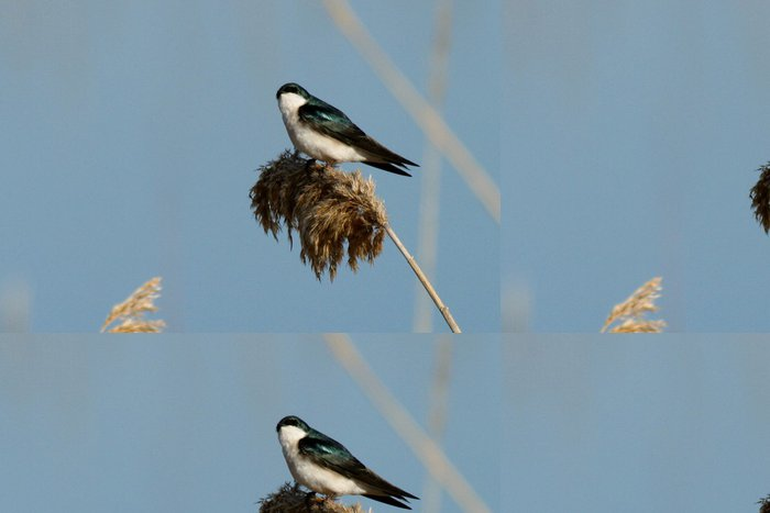 Tapeta Pixerstick Strom vlaštovka - Ptáci