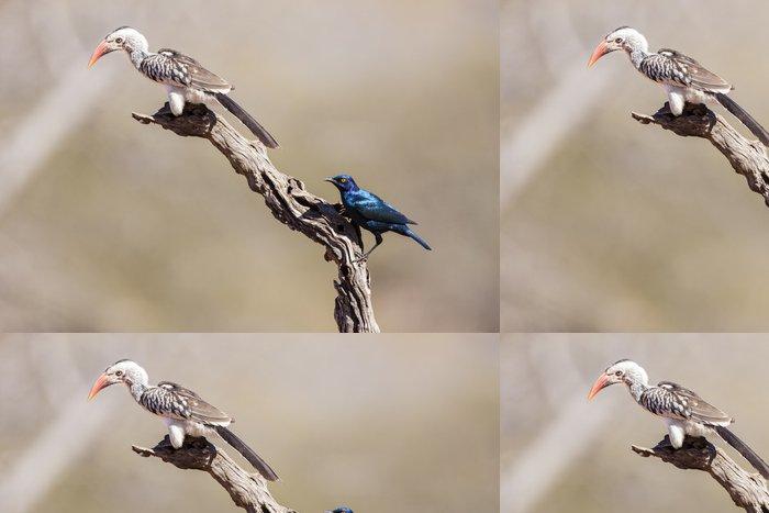 Tapeta Pixerstick Südlicher Gelbschnabeltoko (Tockus leucomelas) - Ptáci