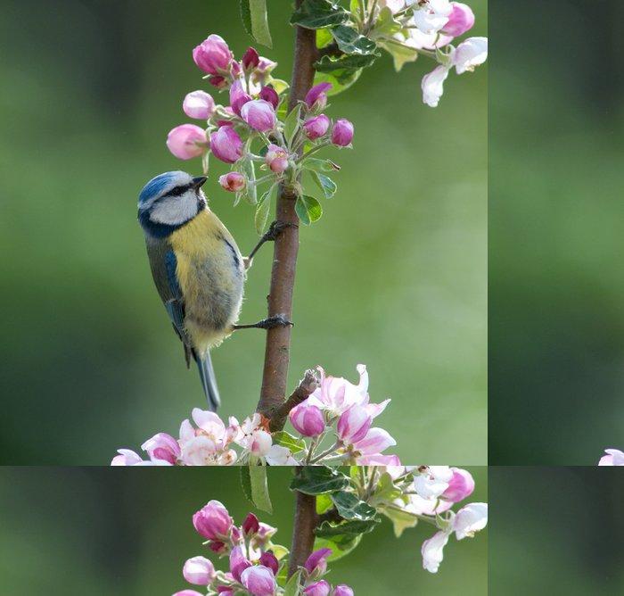 Tapeta Pixerstick Sýkora modřinka lov hmyzu v květu jabloně - Ptáci
