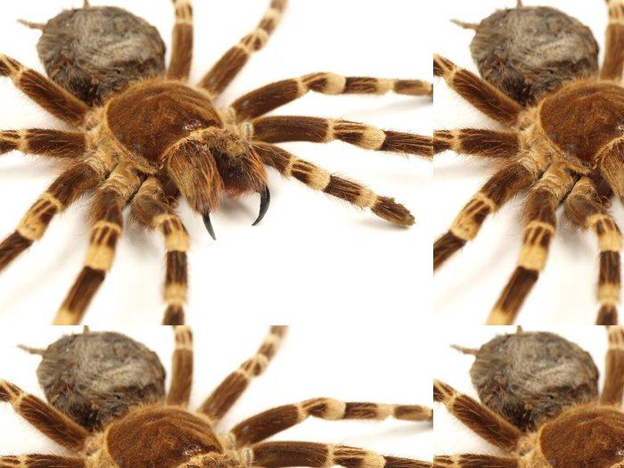Vinylová Tapeta Trap dveří pavouk Acanthoscurria geniculata izolovaný - Ostatní Ostatní