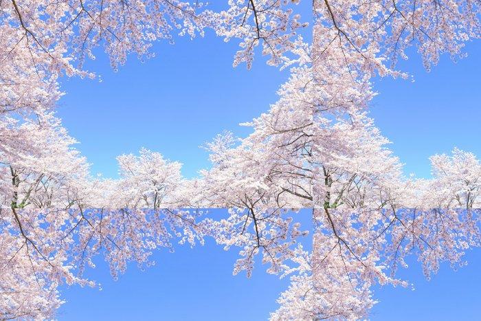 Tapeta Pixerstick Třešňové květy v plném květu - Nebe
