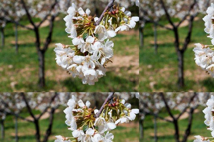 Tapeta Pixerstick Třešňový květ květ (Španělsko) - Evropa