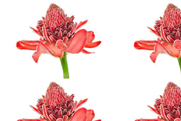 Vinylová Tapeta Tropická květina červená svítilna zázvoru (Etlingera elatior nebo zingibera - Květiny