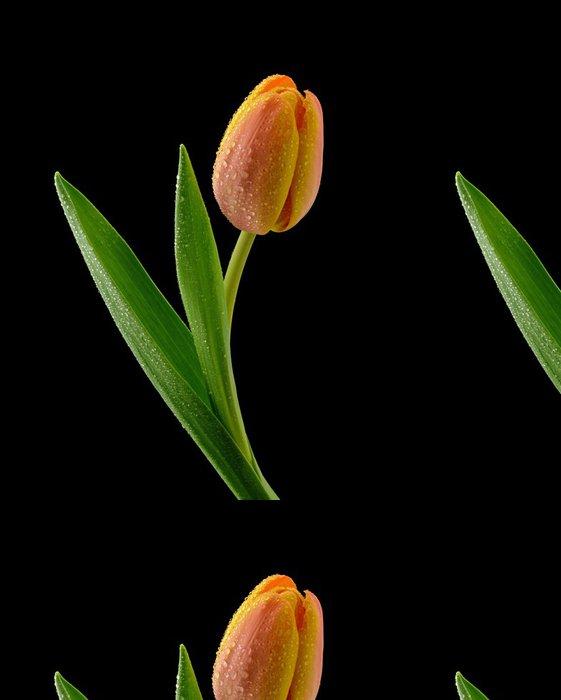 Tapeta Pixerstick Tulipán na černém pozadí - Květiny
