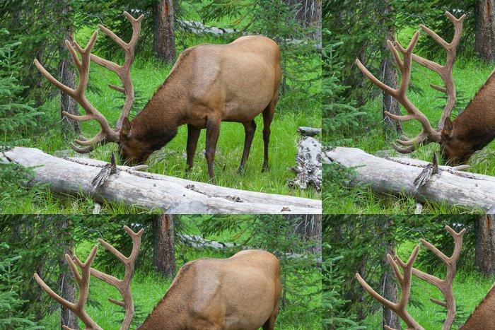Tapeta Pixerstick Velké bull elk pasoucí se v létě trávě v Yellowstone - Amerika