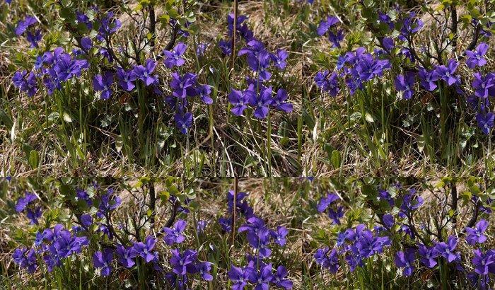Tapeta Pixerstick Viola altaica - Květiny