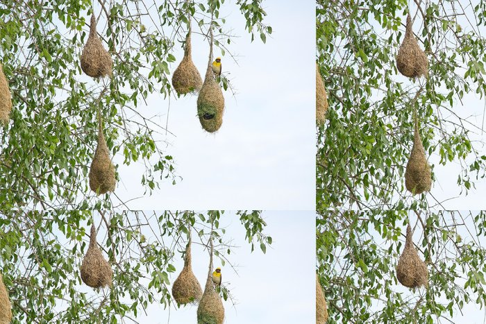 Tapeta Pixerstick Weaver ptačí hnízdo visící ze stromu poblíž Indického oceánu v národním parku Yala, Srí Lanka v prosinci. - Ptáci