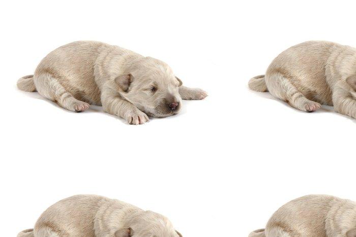 Tapeta Pixerstick Zlatý retriever pes (baby) - Savci