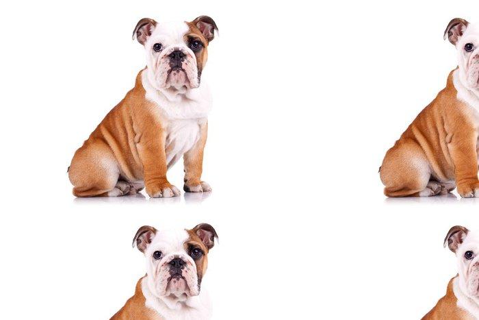 Vinylová Tapeta Zvědavý štěně anglický buldok - Savci