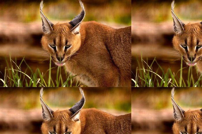 Tapeta Pixerstick Zvíře - Caracal (Caracal Caracal caracal) - Savci