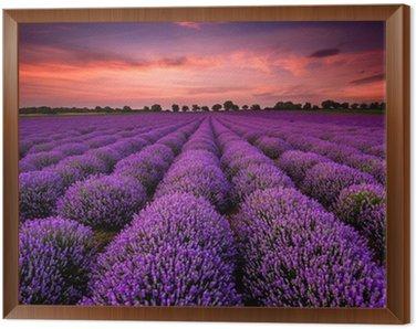 Tavla i Ram Bedövning landskap med lavendel fält vid solnedgången