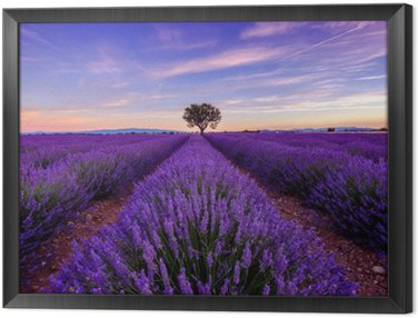 Tavla i Ram Träd i lavendel fält på soluppgången i Provence, Frankrike