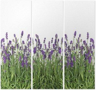 Tryptyk Świeże kwiaty lawendy samodzielnie na białym tle
