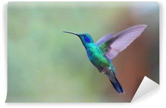 Tvättbar Fototapet Grön violetear kolibri under flygning i Costa Rica