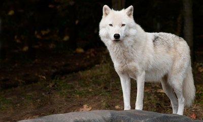 Pixerstick para Todas las Superficies Arctic Wolf Mirando a la cámara