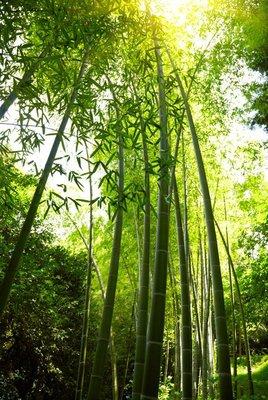 Pixerstick para Todas las Superficies Bamboo forest background