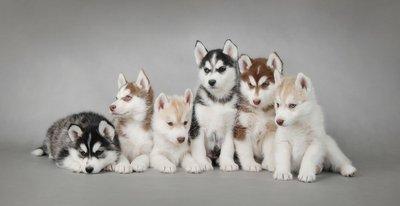 Pixerstick para Todas las Superficies Cachorro de perro husky siberiano