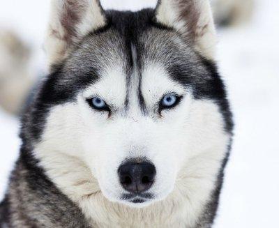 Pixerstick para Todas las Superficies Cerca de los ojos azules de husky