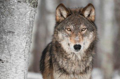 Pixerstick para Todas las Superficies Lobo gris (Canis lupus) Junto a Birch Tree