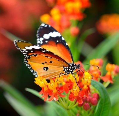 Pixerstick para Todas las Superficies Mariposa en la flor de naranja en el jardín