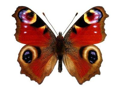 Pixerstick para Todas las Superficies Peacock Europeo de mariposa (Inachis io)