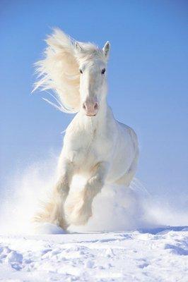 Pixerstick para Todas las Superficies Semental del caballo blanco corre al galope en el foco delantero
