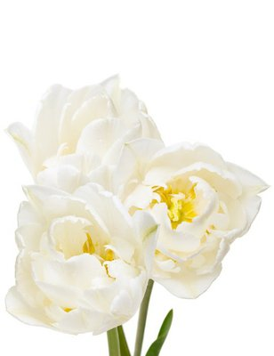 bouquet of white tulips isolated on white