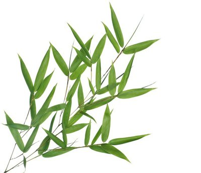 Branch of bamboo-leaves isolated on a white background.
