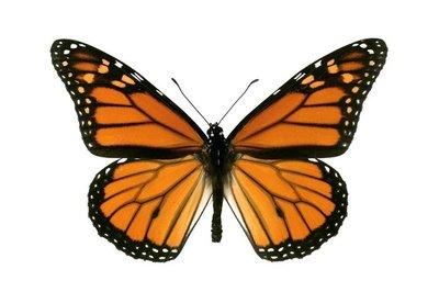 Butterfly, Monarch, Milkweed, Wanderer, Danaus plexippus, male,