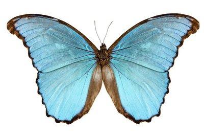 Butterfly species Morpho menelaus alexandrovna