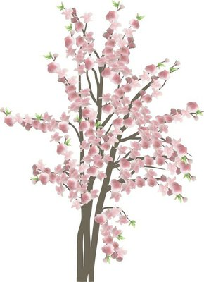 cherry tree with large pink flowers isolated on white