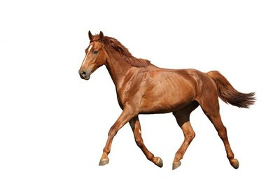 Chestnut brown horse running free on white background