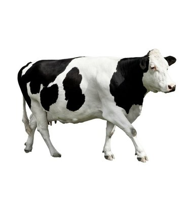 cow in front of a white background