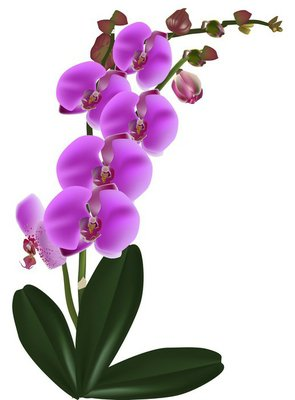 dark pink orchid flowers with leaves