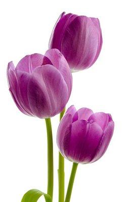 Drei lila Tulpen