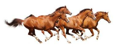 Four sorrel stallion gallop