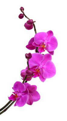 Gentle beautiful orchid isolated on white