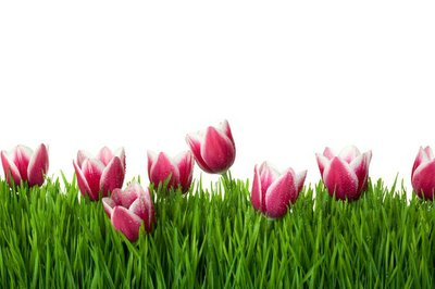 Grass and Pink Tulip Flowers on isolated white background / copy