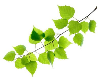 Green birch leaves isolated