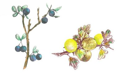 hand drawings into vector : gooseberry and blackthorn