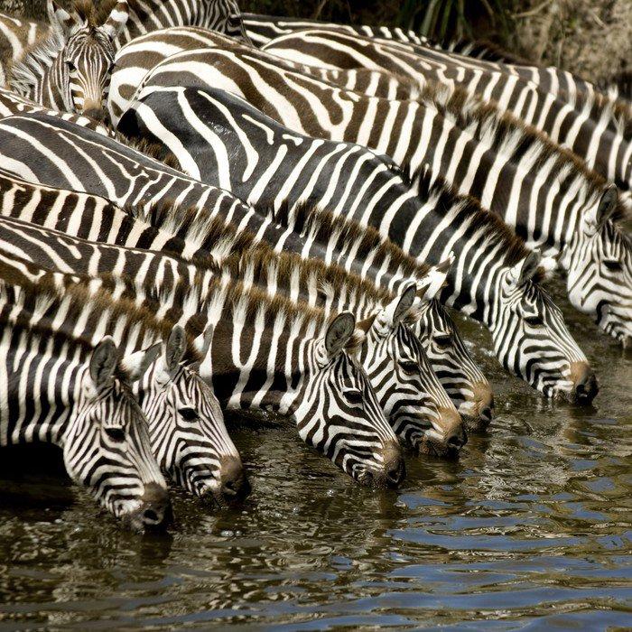 Wall Decal Herd of zebra at Masai mara Kenya - Themes